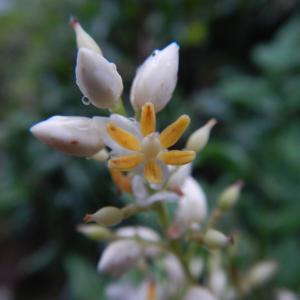 ナンテンの小さな花