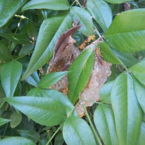 南天の枝にハチの巣