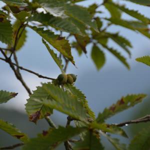 ミズナラ(水楢)のドングリ