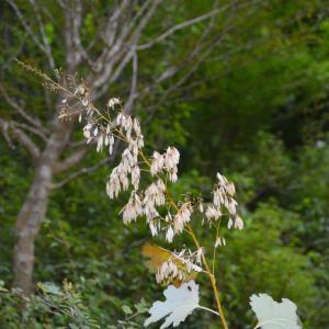 タケニグサ(竹似草)にたくさんの種