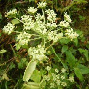 アシタバ(明日葉)に花が咲き始めました