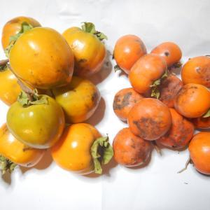 カキ(柿)を採りました