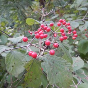 ガマズミ(莢蒾)の赤い実
