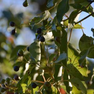 クスノキ(樟、楠)に黒い実がついています