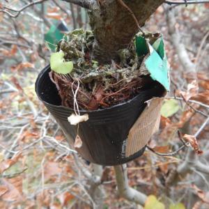 ブナとキンカンの取り木
