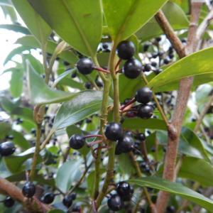 サカキ(榊)に黒い実がついています