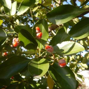 マサキ(柾、正木)の赤い実