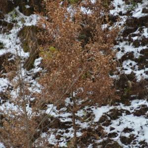 クヌギの樹に残る枯れ葉