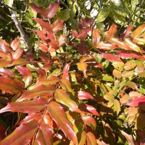 葉がギザギザなヒイラギナンテン(柊南天)