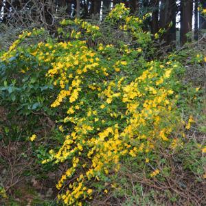 ヤマブキ(山吹)の花