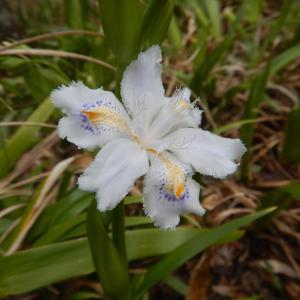 シャガ(射干、著莪)とヒメシャガ(姫射干、姫著莪)の花