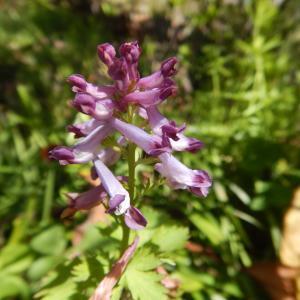 ムラサキケマン(紫華鬘)の花、実