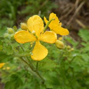 クサノオウの黄色い花