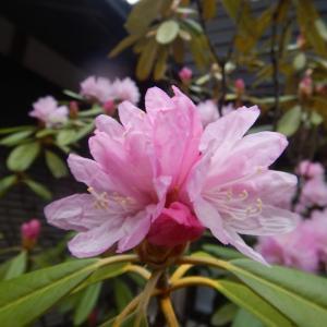 シャクナゲ(石楠花)の花がきれいです。
