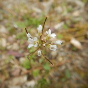 タネツケバナ(種漬花)の花と実