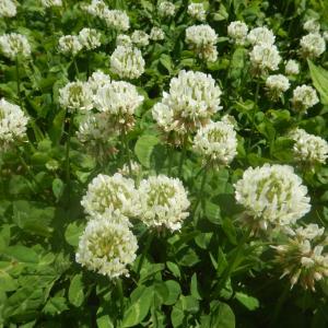 シロツメクサ(白詰草、別名シロクローバー)の花・葉