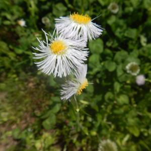 野で咲くハルジオン(春紫菀)の花
