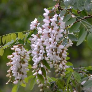 ニセアカシアの白い花が咲いています