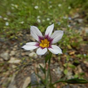 ニワゼキショウ(庭石菖)の白い花が咲いています