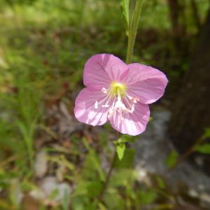 ユウゲショウ(夕化粧)のピンクの花がきれいです