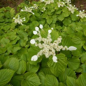山で咲くイワガラミ(岩絡み)の花、ツルアジサイ(蔓紫陽花)との違い
