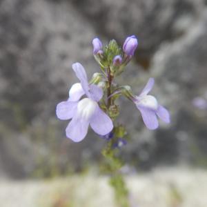 マツバウンラン(松葉海蘭)の花が咲き、実をつけています