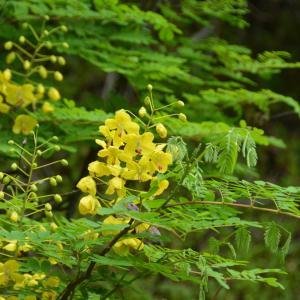 マメ科つる性のジャケツイバラ(蛇結茨)に、黄色い花がさいています