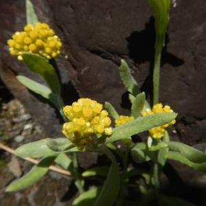 春の七草、ハハコグサ(母子草)の黄色い花が咲いています
