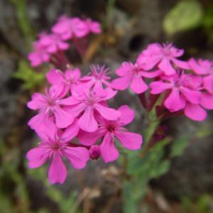 粘着液で虫を捕えるというムシトリナデシコ(虫取撫子)の花
