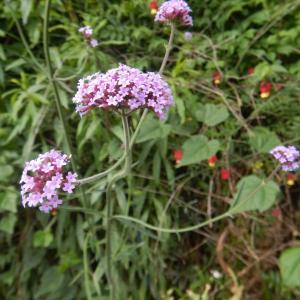 ヤナギハナガサ(柳花笠)、別名三尺バーベナの紫の花