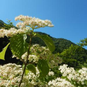 ガマズミ(莢蒾)の白い花が咲いています