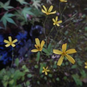 ニガナ(苦菜)の黄色い花が咲いています
