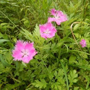 秋の七種(ナナクサ)、カワラナデシコ(河原撫子)の花