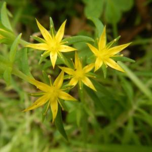 オノマンネングサ(雄之万年草)の黄色い花