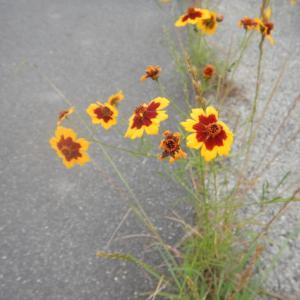 道で咲くハルシャギク(波斯菊)の花