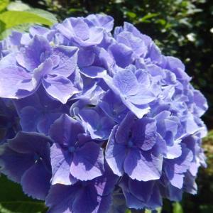 近くで咲くアジサイ(紫陽花)の花
