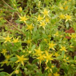 コモチマンネングサ(子持ち万年草)の黄色い花