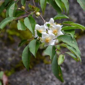 ナツツバキににた、ヒメシャラ(姫沙羅)の白い花