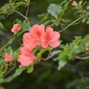 ヤマツツジ(山躑躅)の赤い花