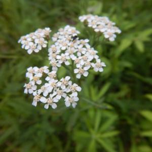 薬草にされるセイヨウノコギリソウ(西洋鋸草)に花が咲いています