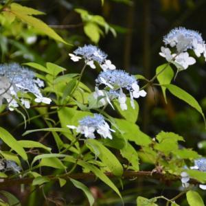 山で小さく咲くヤマアジサイ(山紫陽花)