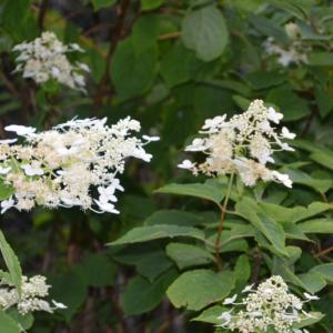 アジサイの仲間のノリウツギ(糊空木)の花