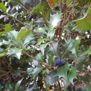 ヒイラギ(柊)の黒い実を食べる、鳥と猿