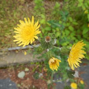ノゲシ(野芥子)の黄色い花