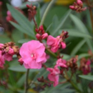 キョウチクトウ(夾竹桃)の花がさいています