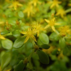 マルバマンネングサ(丸葉万年草)の黄色い花