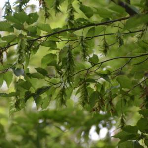 アカシデ(赤四手)の樹についた実
