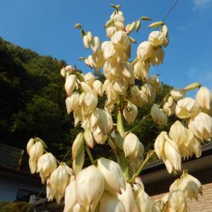 キミガヨラン(君が代蘭)の白い花
