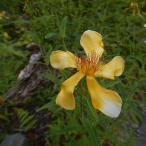 トモエソウ(巴草)の黄色い花
