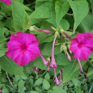 オシロイバナ(白粉花)の花が咲いています